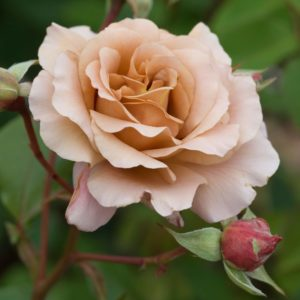 Chocolate Rose (Julia's Rose)